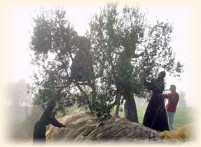 Olive harvest at the seminary